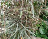 Plantsfalse aralia thumb155 crop