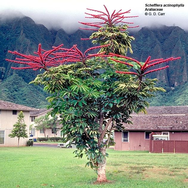 Plantsscheffleraactinophylla