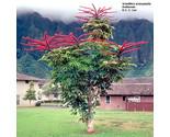 Plantsscheffleraactinophylla thumb155 crop