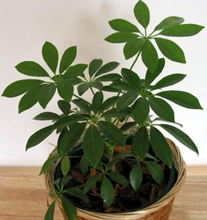 Plantsscheffleraarboricolapittmanspride