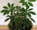 Plantsscheffleraarboricolapittmanspride thumb155 crop