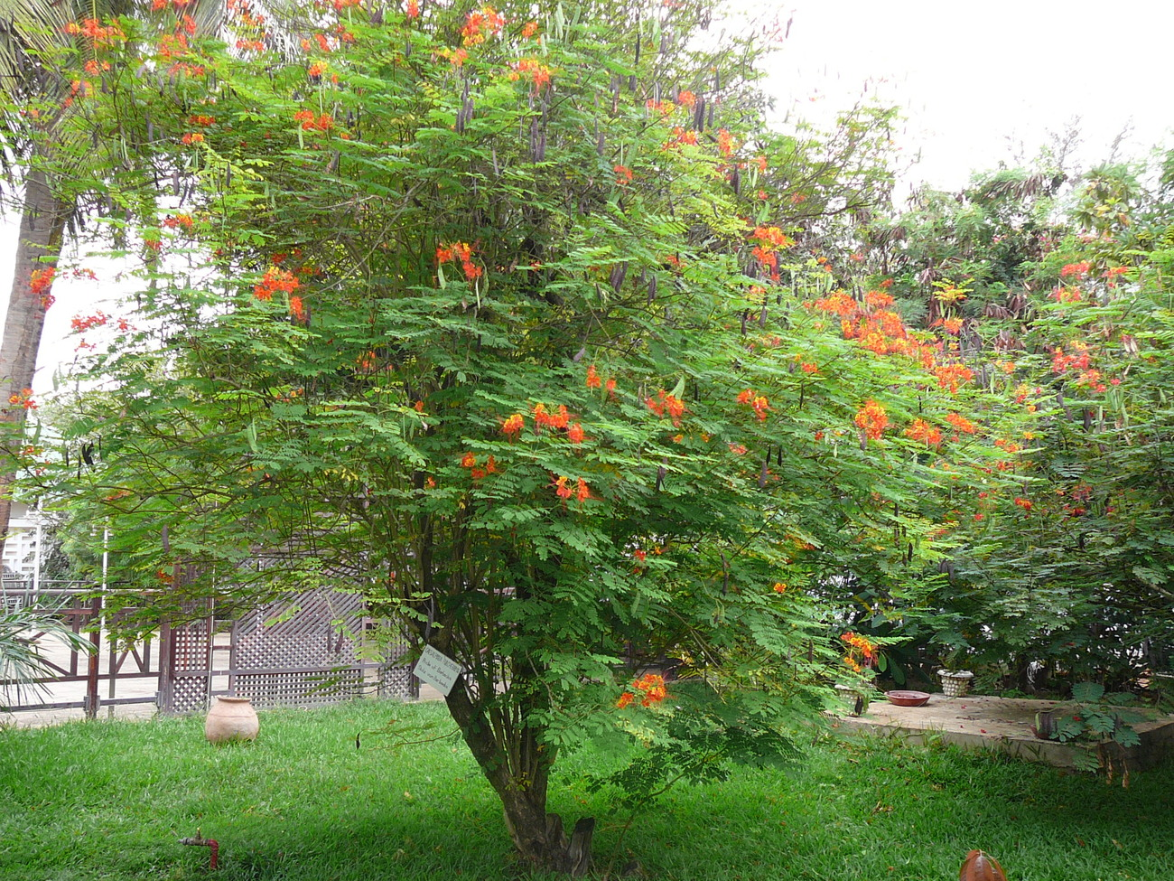Plantscaesalpiniapulcherrimadesertbirdparadise 2