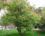 Plantscaesalpiniapulcherrimadesertbirdparadise 2 thumb155 crop