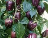 Chilespurplebeautybellpepper thumb155 crop