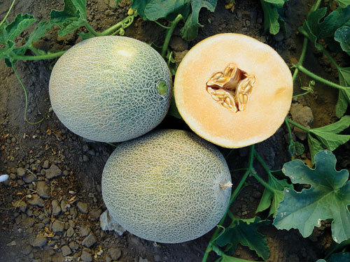 Ananas Melon 20+ seeds Heirloom Melon