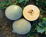 Veggiesananasmelon thumb155 crop