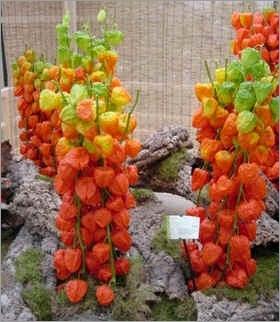 Plantschineselantern