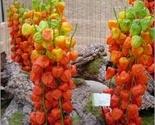 Plantschineselantern thumb155 crop
