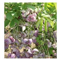Chocolate Vine Seeds | Akebia Quinata Seeds | 5 seeds - $13.32