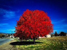 Autumn Blaze Maple quart pot image 5