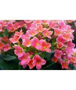 Kalanchoe Blossfediana Live Plants - Pink #STR11 - $70.17