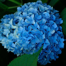 3 Nikko Blue Hydrangea macrophylla Live Plant - $40.00