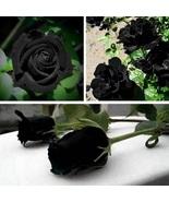 100Pcs Mysterious Black Rose Flower Plant Seeds Beautiful Black Rose New... - $9.99