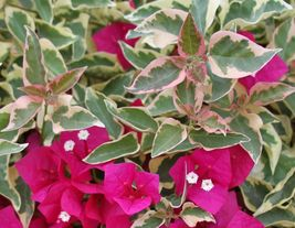 Shipped From Us Bougainvillea - Raspberry Ice - Live Plant, GG02 - $30.75