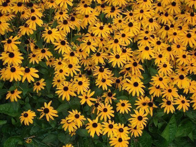 Organic Native Plant, Black Eyed Susan, Rudbeckia fulgida, w