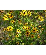 Organic Native Plant, Brown Eyed Susan, Rudbeckia triloba, w - $3.50