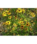 Organic Native Plant, Brown Eyed Susan, Rudbeckia triloba, w - $3.75