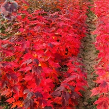 20 Seed Japanese Red Maple Bonsai Tree Cheap Seeds, DIY Beautiful Tree DO - $8.99