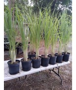 "Lemongrass 12 Live Plants Each 8-12"" Tall will grow for sure  - $27.99"