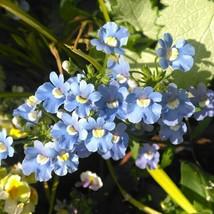 Nemesia Blue Gem 100 Flower Seeds - $9.98