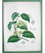CONDURANGO Gonolobus S. American Vine - SUPERB Botanical Print Color - $26.01