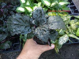 """HEMIGRAPHIS COLORATA - PURPLE - WAFFLE PLANT - 1 PLANT - 3"""" POT - $9.80"""