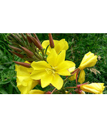 Evening Primrose Seeds, Oenothera biennis 500 seeds - $0.99
