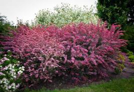 Rose Glow Barberry shrub qt. pot (Berberis thunbergii 'Rose Glow')  image 3