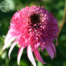 Heirloom 'Razzmatazz' Echinacea, 100 Seeds, big blooms pink coneflowers TS254T - $6.22