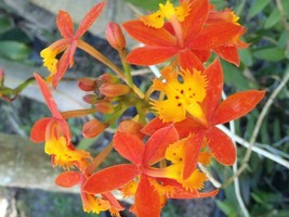 "SALE 4 Reed Stem ""Crucifix Orchid"" Epidendrum Radicans 6""-8"" cuttings - $15.00"