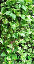 Golden Queen Pothos Vine Epipremnum - Can Grow to Jumbo Large Plant! - $17.98