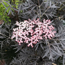"4"" Pot - Black Lace Elderberry - Sambucus - HARDY - Proven Winners - tkhit  - $61.00"