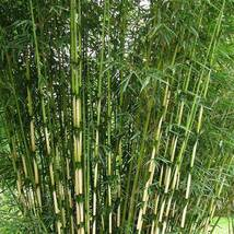 50 Fargesia robusta campbell seeds Clumping bamboo USA SELLER - $9.98