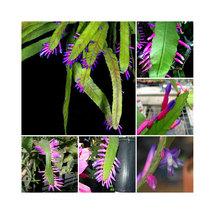 BEST PRICE 5 Seeds Wittia Amazonica Amazing Epiphyllum,DIY Flower Seed DL288C DG - $6.29