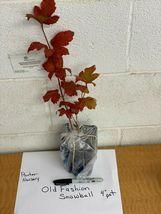 """Old Fashion Snowball Viburnum 4""""pot Viburnum opulus roseum image 5"""