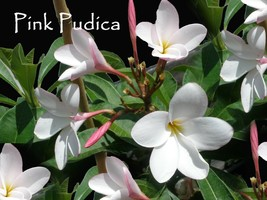 5 Semi-Dwarf Pink Pudica Plumeria cuttings - $50.00