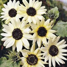 15 seeds Small talian White Sunflower - $9.98
