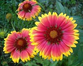 1/4 Pound Seeds of Blanket Flower - $51.38