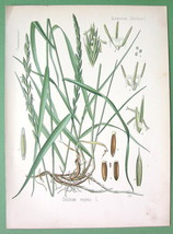 TRITICUM REPENS Couch Grass - COLOR Litho Botanical Print - $12.60