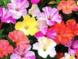30 Four O'clock Flower Seeds Mixed Marbled Pink Orange Yellow Hardy Pere... - $7.99