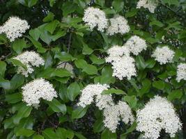 Blackhaw Viburnum (Viburnum prunifolium) image 3