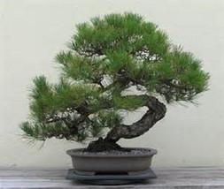 5 Japanese Black Pine Tree-1144 - $2.98