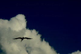 Pelican In Flight at Sebastion, Fl.  12x18 Photograph - $199.00