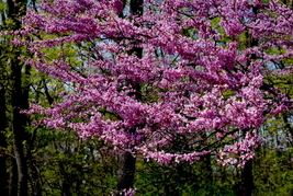Cherry Blossoms #1,12x18 Photograph - $199.00