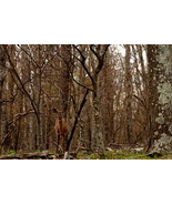 Deer In The Woods at Shenandoah National Park, ... - $179.00