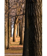 Trees in Mont Royal Canada 10x15 Photograph - $179.00
