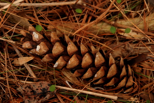 Pinecone #1,  10x15 Photograph