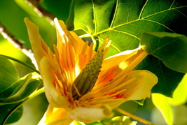 Yellow Poplar, 10x15 Photograph - $179.00