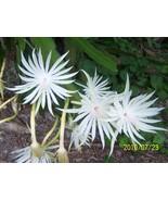 Night Blooming  Orchid Cactus, Cereus  Queen of The Night  12in Blooms, ... - $15.00