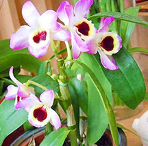100pcs Very Exotic and Rare Dendrobium Orchid Flower Garden IMA1 - £12.36 GBP